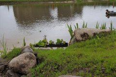 Ducks in the wetlands
