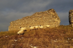 Wintering Sheep